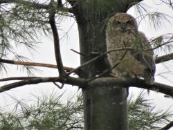 Baby owl 4-19-18